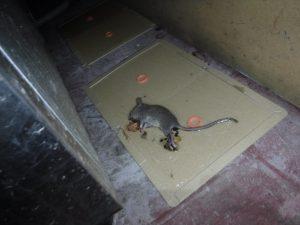 ボウケン ネズミ捕獲 クマネズミ
